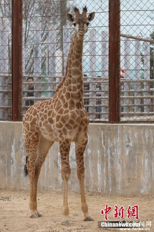 青藏高原野生动物园育活首只长颈鹿
