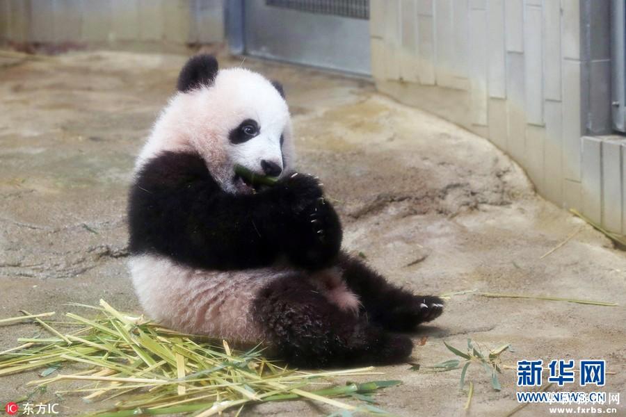 日本上野动物园熊猫宝宝将首度亮相 - 社会 阜新新闻网