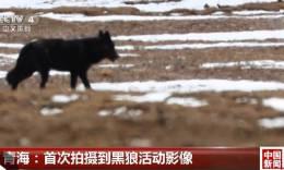 青海:首次拍摄到黑狼活动影像