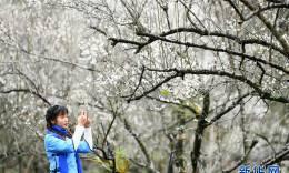 贵州荔波:赏梅好时节