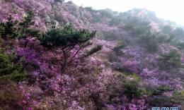 青岛大珠山:杜鹃花海漫山绽放