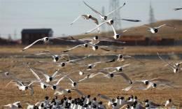 河北康保:康巴诺尔湿地遗鸥舞翩跹