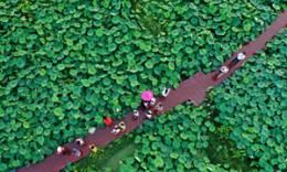 广西柳州:万亩荷塘迎客来